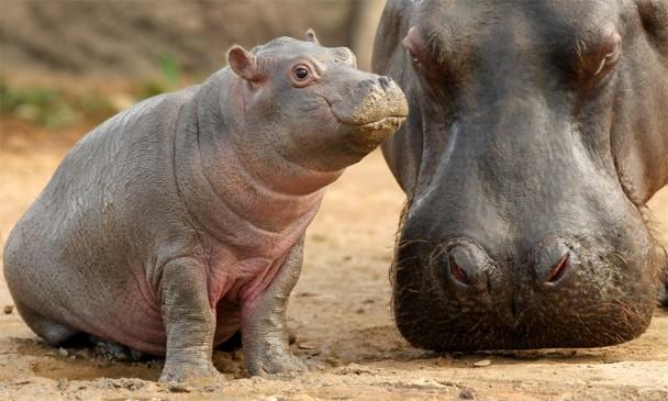 baby-hippo
