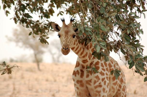 Giraffe_koure_niger_2006