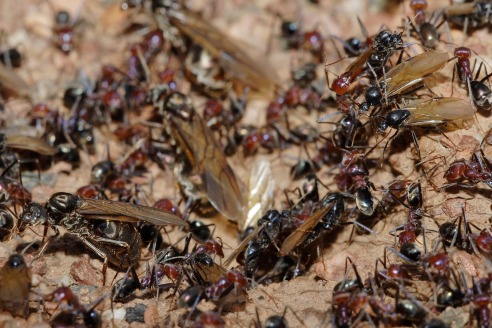 Meat_eater_ant_nest_swarming02