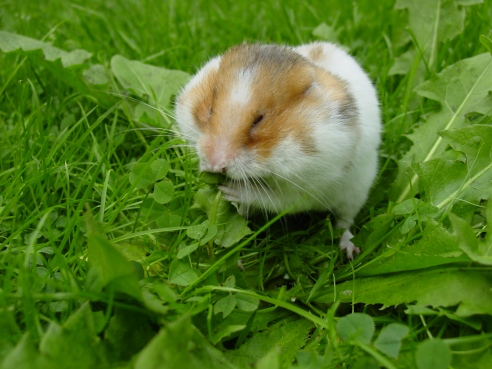 Syrian_hamster_filling_his_cheek_pouches_with_Dandelion_leaves